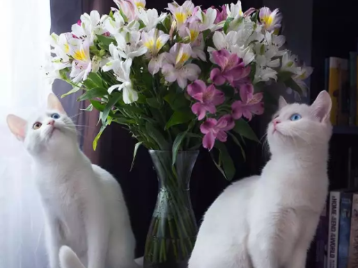 It's Time To Meet The Most Awesome 2 Luxurious Twin White Cats On This Planet