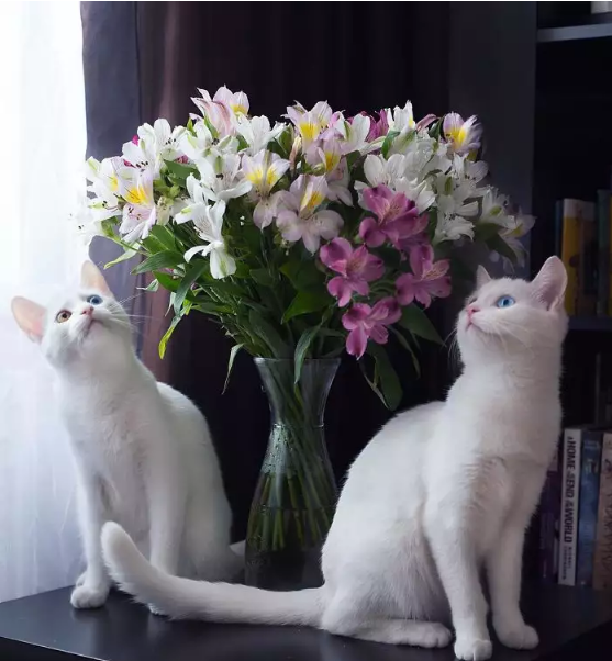 Meet The Most Awesome 2 Luxurious Twin White Cats On This Planet